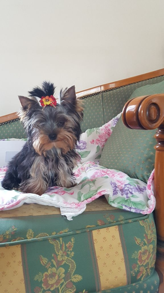 ONLY YOU - Yorkshire Terrier