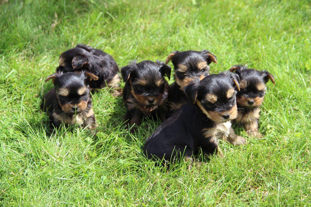 La Pouponnerie, Elevage Du Pre Moussey - Chiot disponible  - Yorkshire Terrier