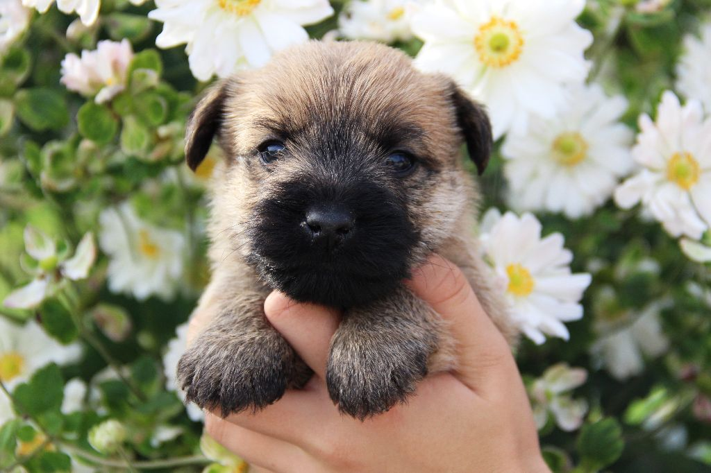 La Pouponnerie, Elevage Du Pre Moussey - Chiot disponible  - Cairn Terrier