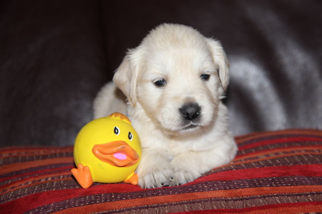 La Pouponnerie, Elevage Du Pre Moussey - Chiot disponible  - Golden Retriever