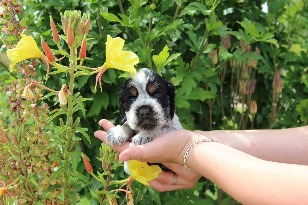 La Pouponnerie, Elevage Du Pre Moussey - Chiot disponible  - Cocker Spaniel Anglais