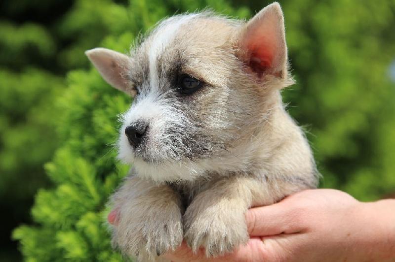 Du pré moussey - Chiot disponible  - Cairn Terrier