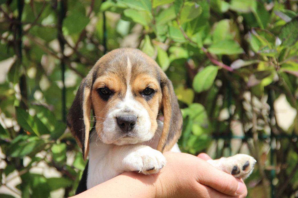 CHIOT - Beagle