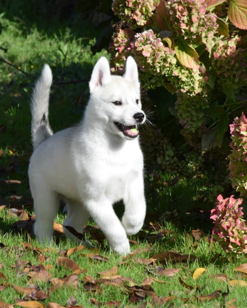 Never Let Me Go Of Noble's Snowstars - Siberian Husky