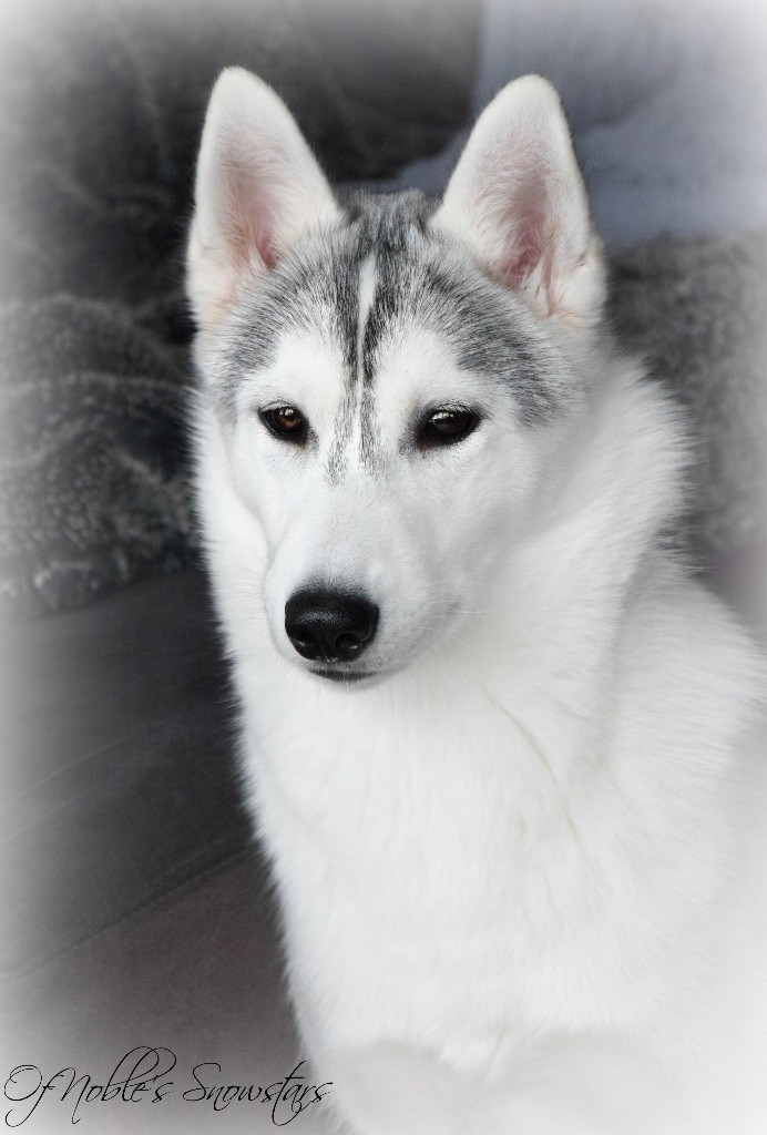 Of Noble's Snowstars - Chiot disponible  - Siberian Husky
