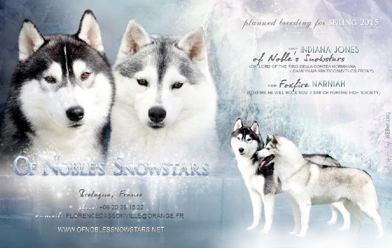 Of Noble's Snowstars - Siberian Husky - Portée née le 24/04/2015