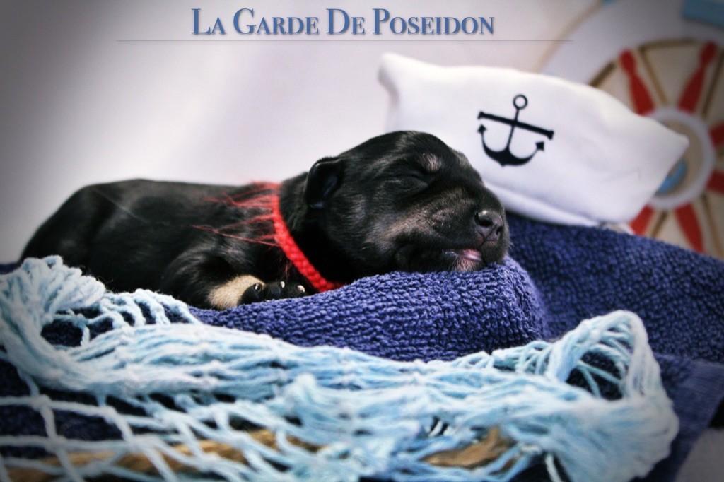 De La Garde De Poseidon - Chiot disponible  - Schnauzer miniature