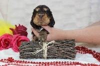 CHIOT chocolat et feu collier rouge