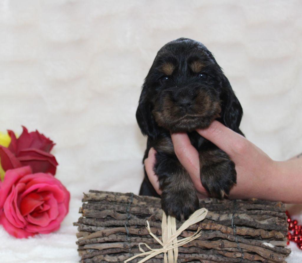 CHIOT femelle noir et feu collier rose