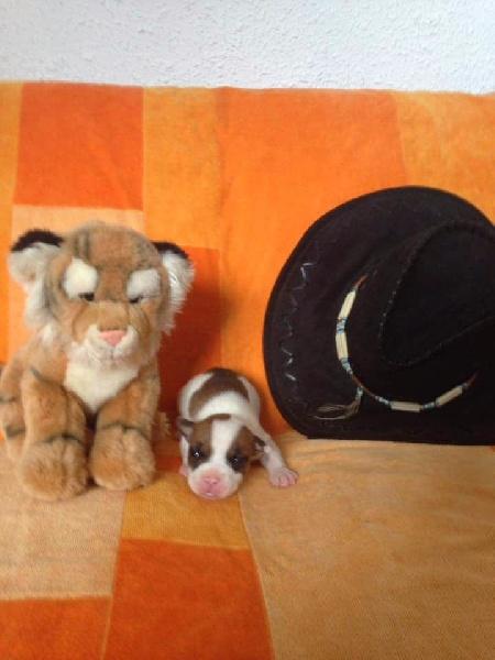 Dei Gladiatori D'oro - Chiot disponible  - American Staffordshire Terrier