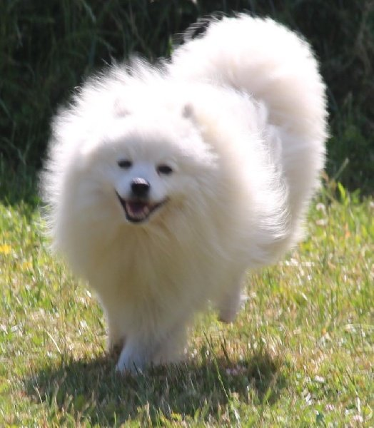 accueil elevage of fantasia lover land eleveur de chiens spitz japonais. Black Bedroom Furniture Sets. Home Design Ideas