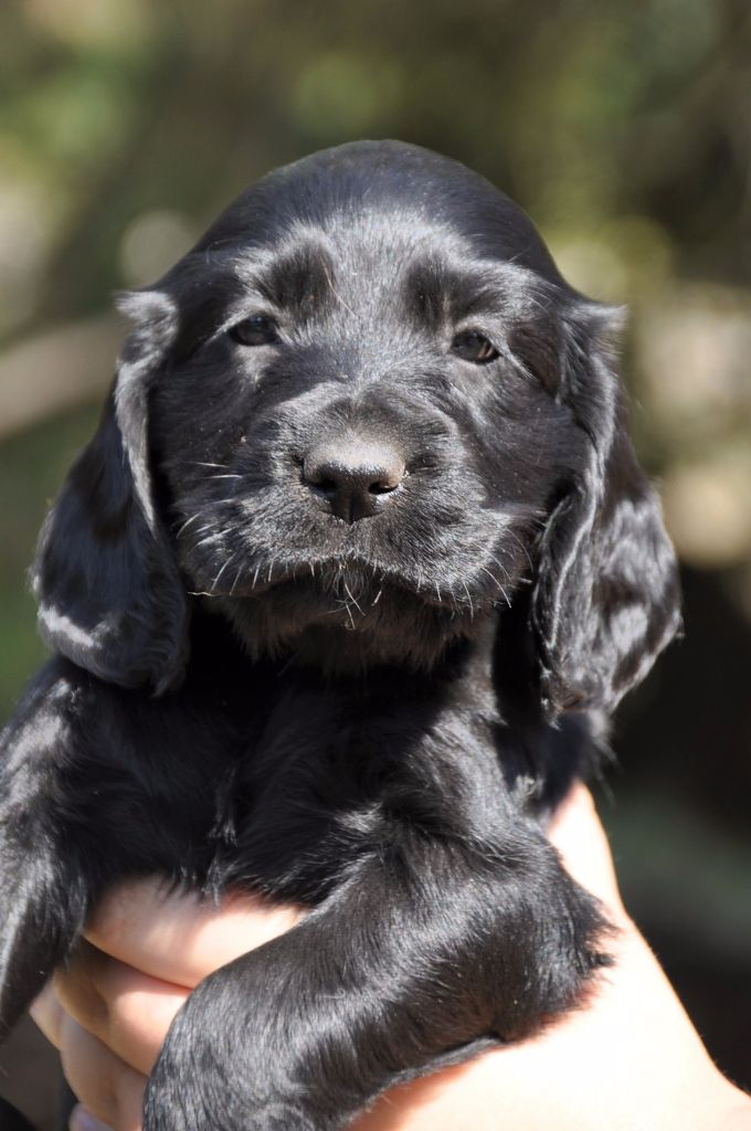 Sunset D'hell - Chiot disponible  - Cocker Spaniel Anglais