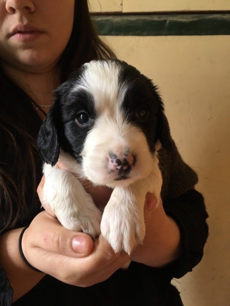 Sunset D'hell - Chiot disponible  - English Springer Spaniel
