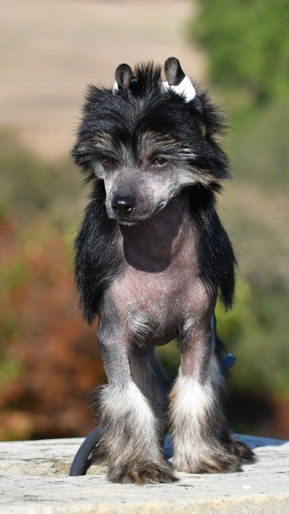Little Dog Of Dream - Chiot disponible  - Chien chinois à crête