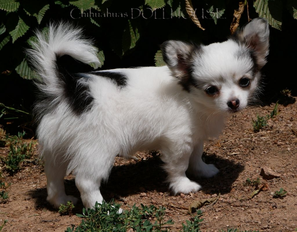 DOLLHOUSE Phantom - Chihuahua