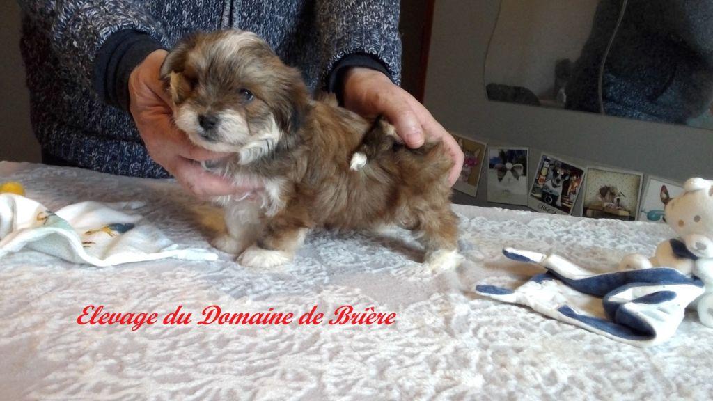 Du Domaine De Brière - Chiot disponible  - Bichon Havanais