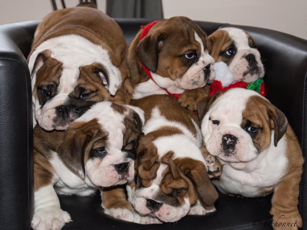 accueil elevage de mouths of angels eleveur de chiens bulldog anglais. Black Bedroom Furniture Sets. Home Design Ideas