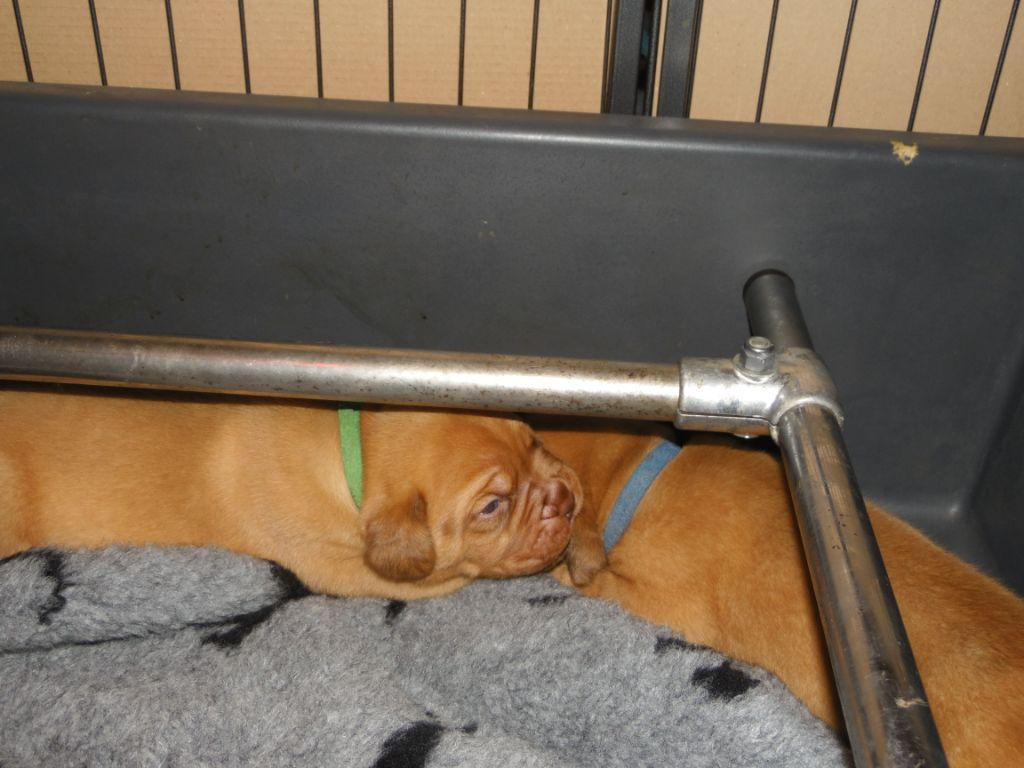 CHIOT collier jaune (Optimus Prime ) - Dogue de Bordeaux