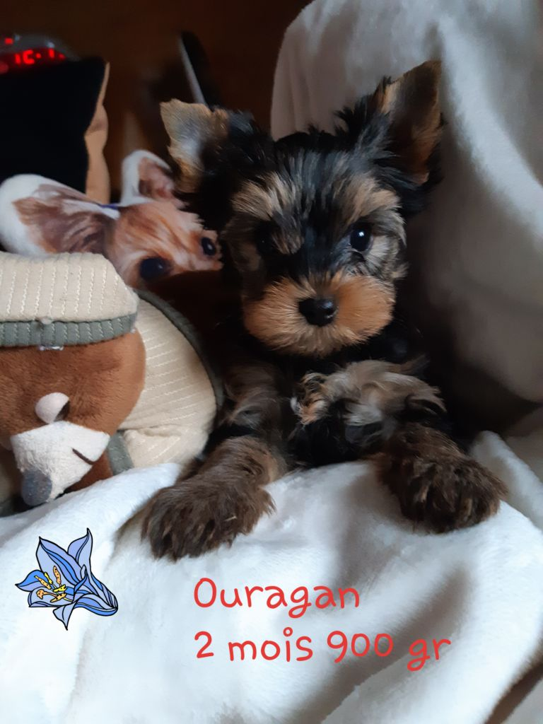 OURAGAN - Yorkshire Terrier
