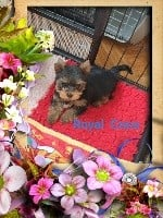 Yorkshire Terrier - Du Petit Pelerin