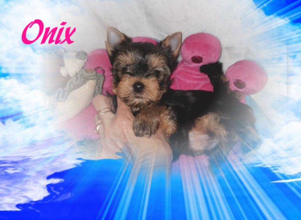 Du Petit Pelerin - Chiot disponible  - Yorkshire Terrier