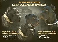 Cane Corso - De La Colline Du Bonheur