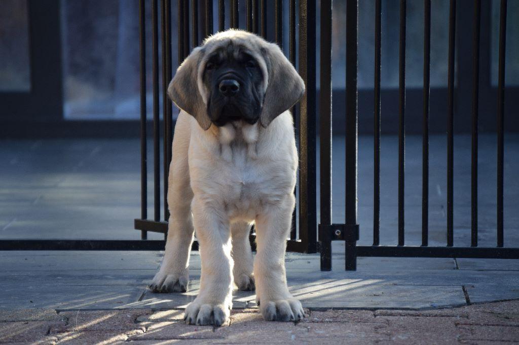 La Vallée Des Mountches - Chiot disponible  - Mastiff