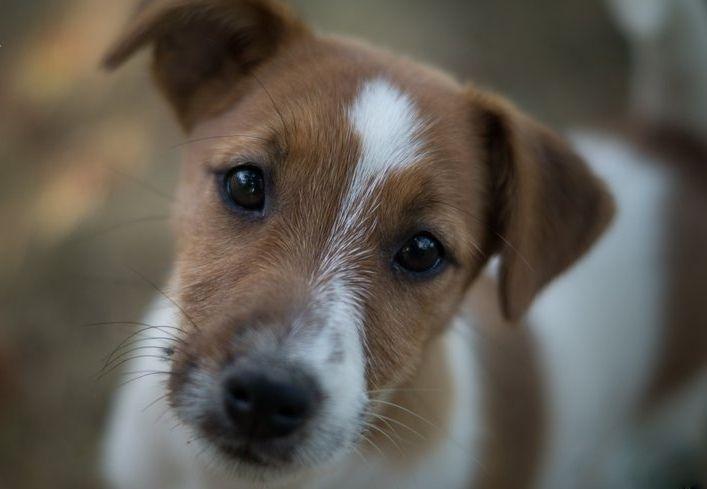 Grandis Silva - Chiot disponible  - Jack Russell Terrier
