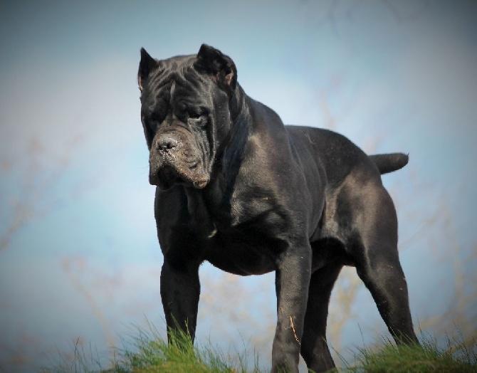 Situe Dog Black