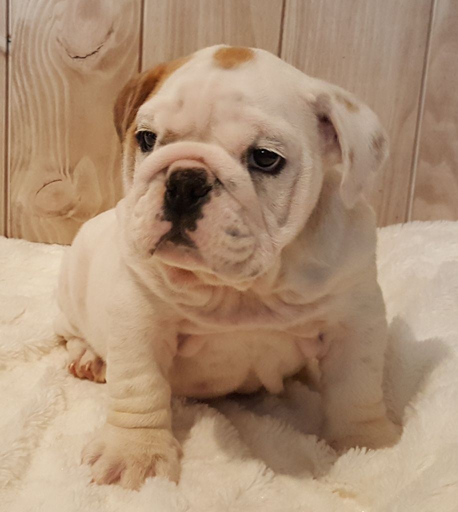 Dream's Touch - Chiot disponible  - Bulldog Anglais