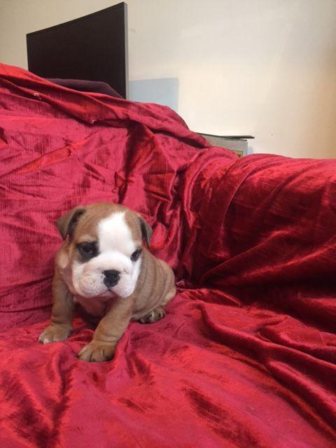 NOUGAT BELLEROPHON - Bulldog Anglais