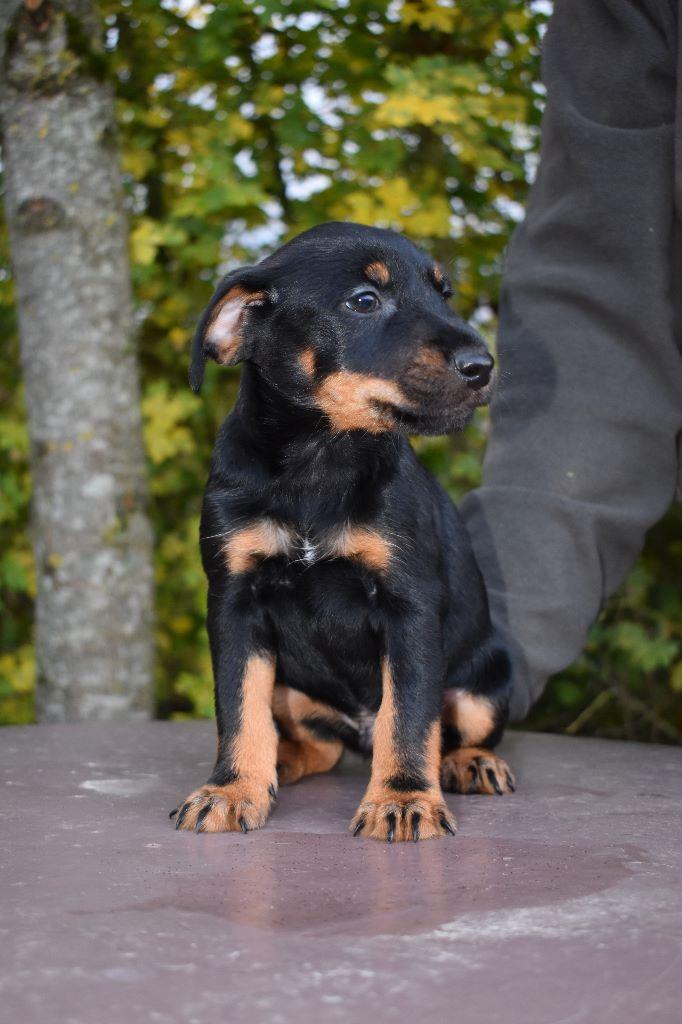 De La Rose Anglaise - Chiot disponible  - Terrier de chasse allemand