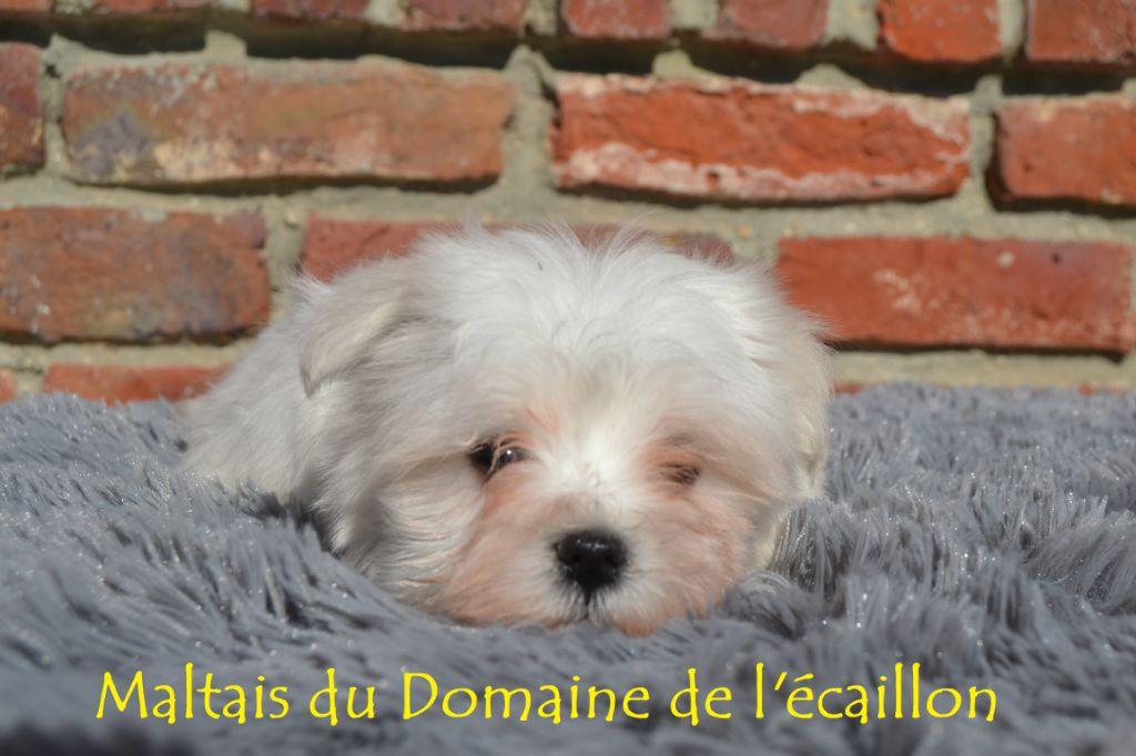 du Domaine De L'écaillon - Chiot disponible  - Bichon maltais