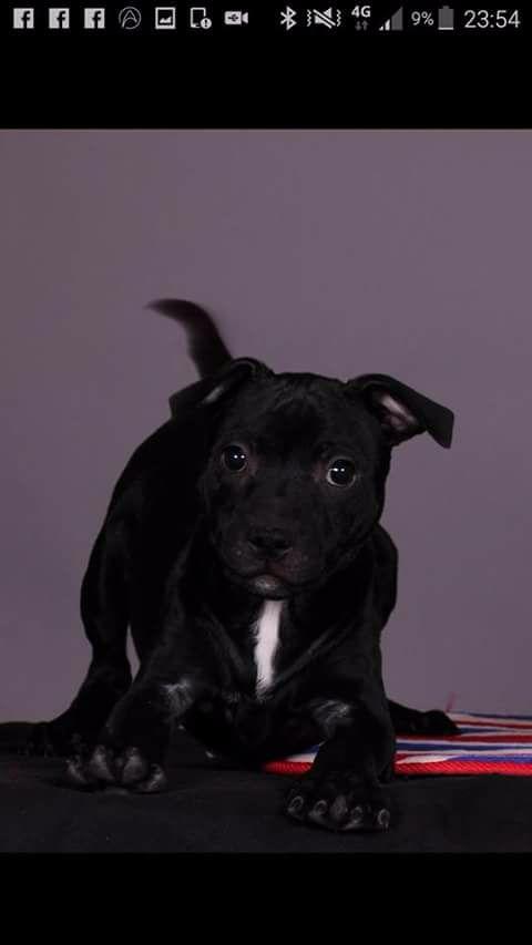 Du Royaume De Canna - Chiot disponible  - Staffordshire Bull Terrier