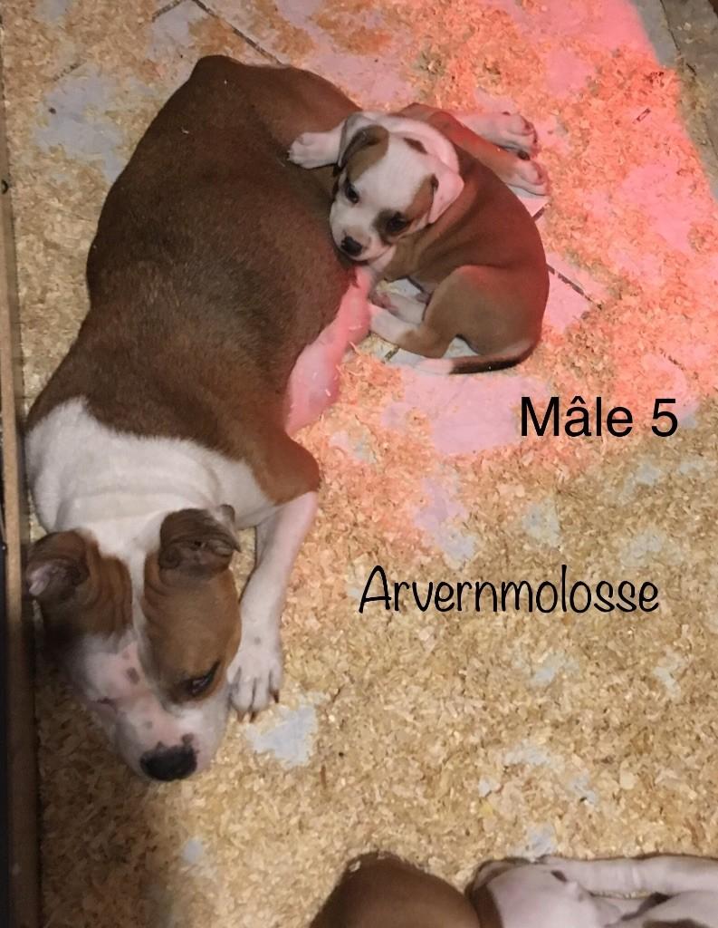 Oslow - Staffordshire Bull Terrier