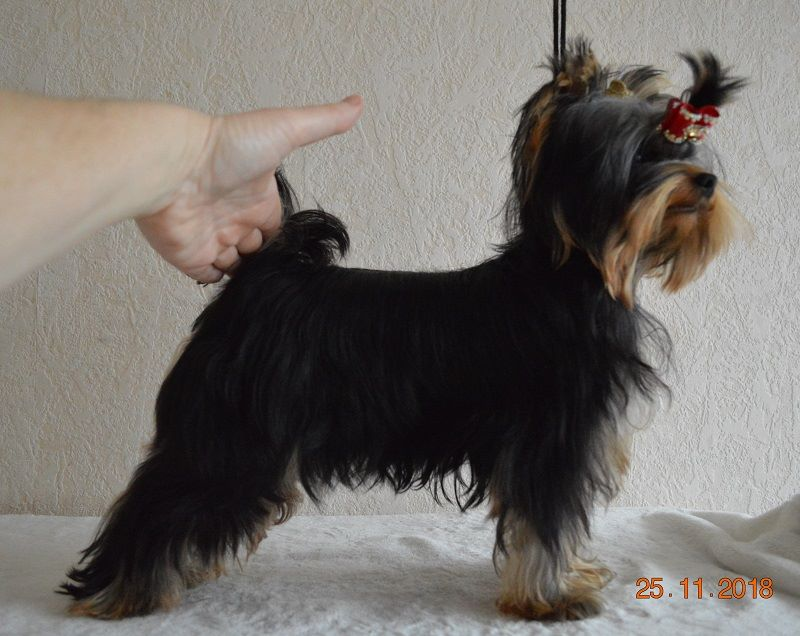De L'eden Argente - Chiot disponible  - Yorkshire Terrier