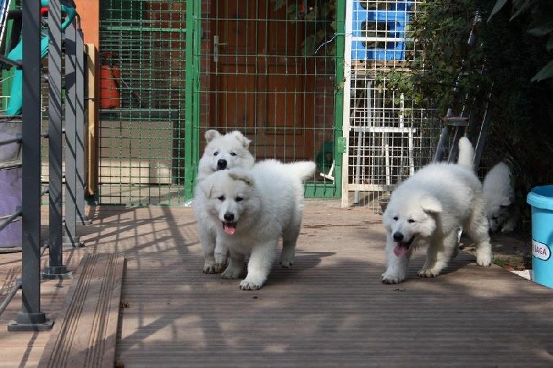 photo elevage du moulin de beuvry eleveur de chiens berger blanc suisse. Black Bedroom Furniture Sets. Home Design Ideas