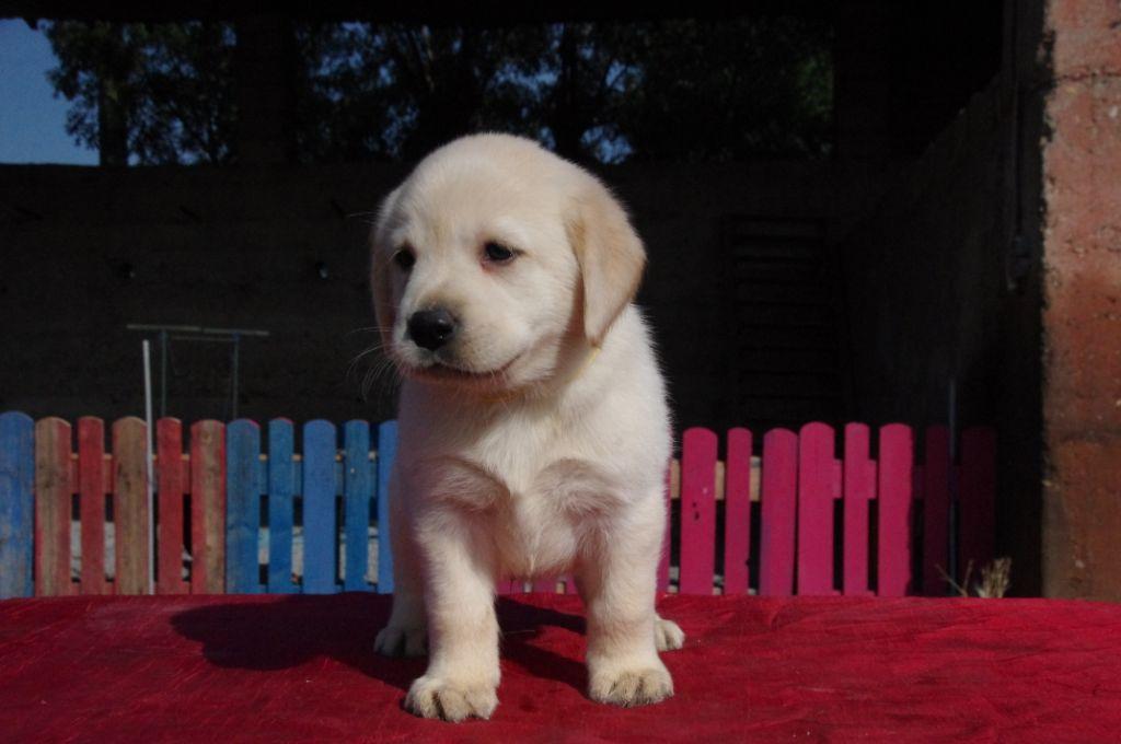 Des Jardins D'eywa - Chiot disponible  - Labrador Retriever
