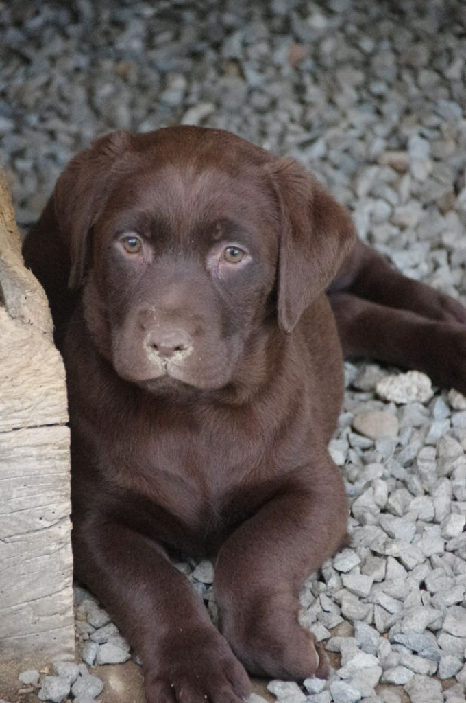 chiot Labrador Retriever Des Jardins D'eywa