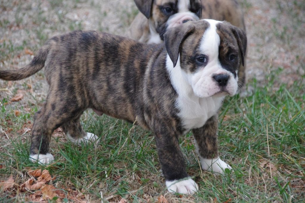 Des Jardins D'eywa - Chiot disponible  - Bulldog continental