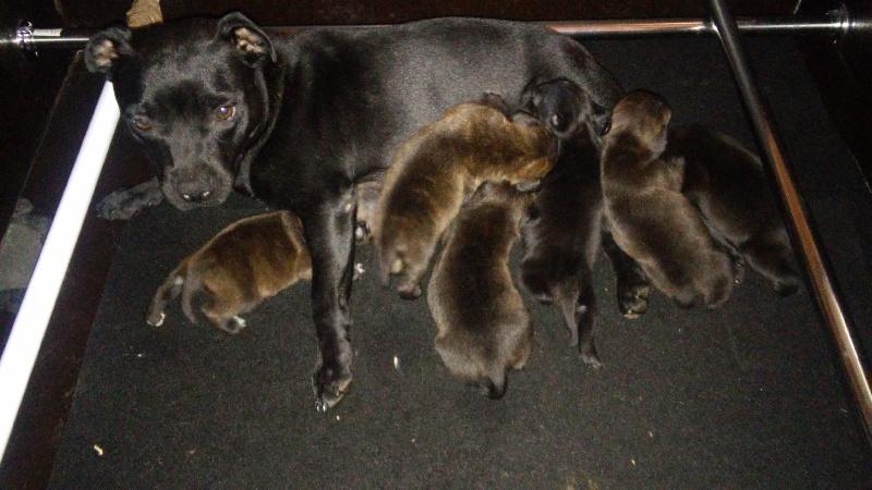 de La Tour Des Molosses - Chiot disponible  - Staffordshire Bull Terrier