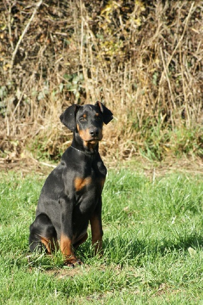 Chiots de la race dobermann disponibles sur chiots de france - Elevage dobermann oreilles coupees ...