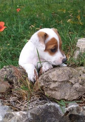 PARIS - Jack Russell Terrier