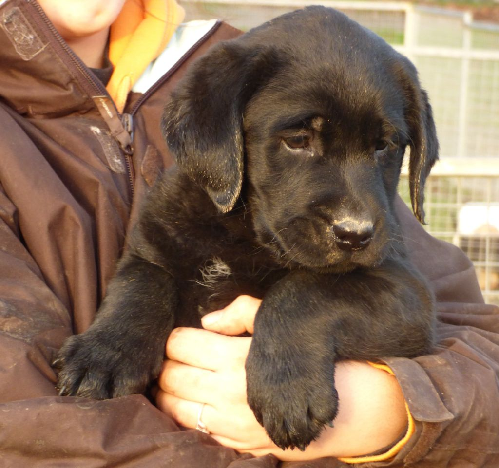 Du Moulin Sault - Chiot disponible  - Labrador Retriever
