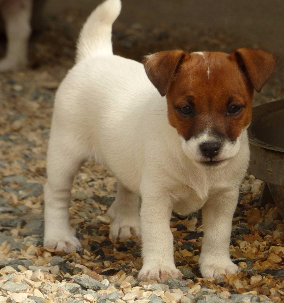 Chiot - Elevage Du Moulin Sault - eleveur de chiens Jack