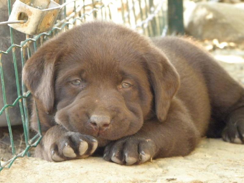 Chiot - Elevage Du Moulin Sault - eleveur de chiens Labrador Retriever