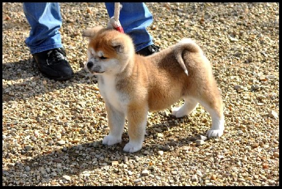 accueil elevage larissa brabant eleveur de chiens akita. Black Bedroom Furniture Sets. Home Design Ideas