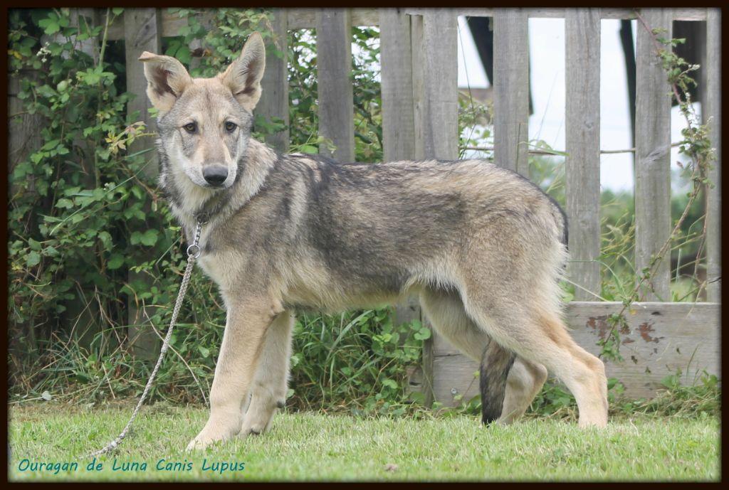 De Luna Canis Lupus - Chiot disponible  - Chien-loup de Saarloos