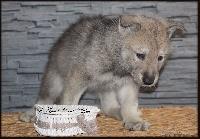 De Luna Canis Lupus - Chien-loup de Saarloos - Portée née le 05/01/2017