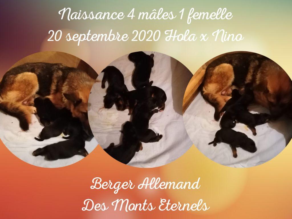 Des Monts Eternels - Berger allemand - Portée née le 20/09/2020